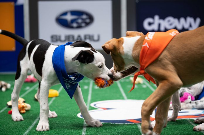 How to watch Puppy Bowl 2021 on Animal Planet
